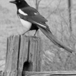 Black-billed Magpies take 40 to 50 days to build their nests