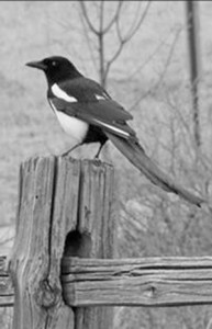 A black-billed magpie looks over his territory on a wooden post near Churchwood Road.