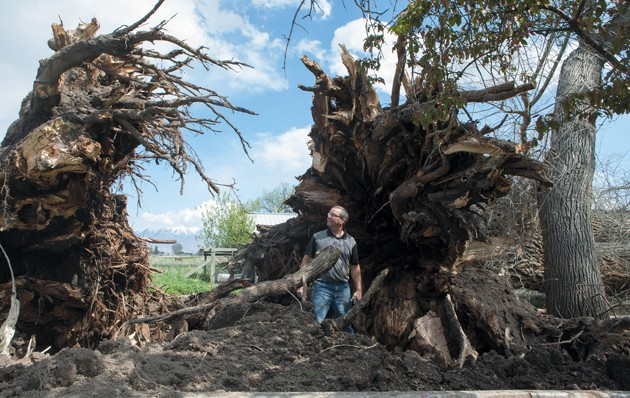 Big tree topples into workshop